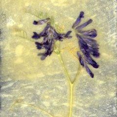 Revealed Flower 1