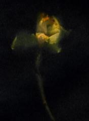 NarcissusBlack