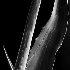 agave 7