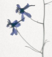 Blue Blossoms 1