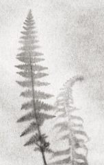 Fern Drawing