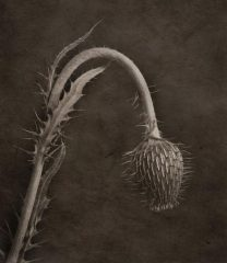 Weeping Thistle