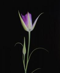 Mariposa Lily 3