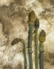 Spring Horsetails