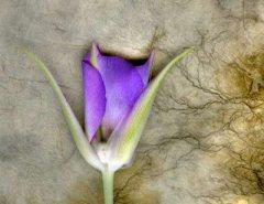 Spring Lily 2