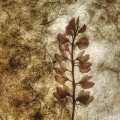 Spring Lupine