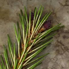 Spring Pine