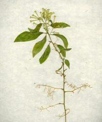 Brazil Flower 3