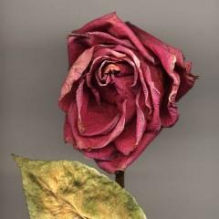 Late Rose 1