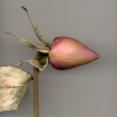 Late Rose 2
