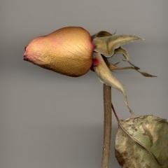 Late Rose 3