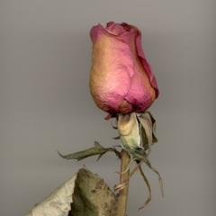 Late  Rose 4