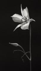Mariposa Lilly