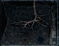 Revealed Root 1