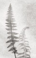 Fern Drawing