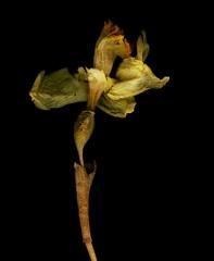 Later Daffodil