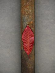 Leaf And Rusted Iron