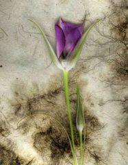 Spring Lily